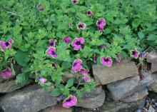 Even flowers perform well in raised beds, such as these Pretty Much Picasso Supertunias growing over a bed lined with fieldstone. (Photo by MSU Extension/Gary Bachman)