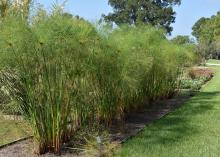 King Tut papyrus, growing here at the Mississippi State University South Mississippi Branch Experiment Station in Poplarville, make a good addition to Mississippi landscapes either as an annual or a perennial. (Photo by MSU Extension/Gary Bachman)