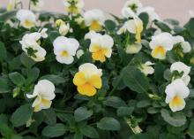 Shop now for the best selection of viola varieties and color, such as these Banana Cream Sorbet violas. (Photo by MSU Extension/Gary Bachman)