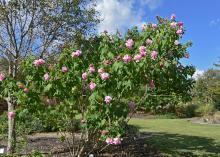 Confederate Rose works best as a landscape specimen to properly display its gorgeous flowers that bloom in prodigious numbers. (Photo by MSU Extension/Gary Bachman)