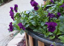 Cool Wave pansies are more vigorous than standard pansy varieties and have a trailing growth habit that makes them ideal for filling landscape beds or spilling from hanging baskets. (Photo by MSU Extension/Gary Bachman)