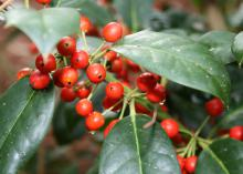 Nellie R. Stevens is a hybrid holly with dark, glossy green leaves year-round and thousands of red berries in the winter. (Photo by MSU Extension/Gary Bachman)