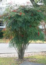 Nandina domestica can grow up to 8 feet tall and makes an excellent specimen plant in a landscape. (Photo by MSU Extension/Gary Bachman)
