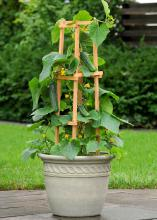 The Patio Snacker is a terrific producer in a tight space. The 3- to 5-foot vine is perfect for trellising and produces fruit that is perfectly crunchy and not bitter. (Submitted Photo/Ball Horticultural Company)