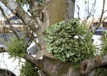 Lichens use trees and shrubs only for support, supplying their own energy, water and nutrients without harming their hosts. This lichen has folds that resemble a crumpled sheet. (Photo by MSU Extension/Gary Bachman)