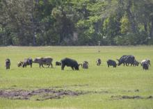 Wild pig herds, such as this one, cause significant damage in a short amount of time by rooting the land. (File photo by USDA APHIS/Carol Bannerman)