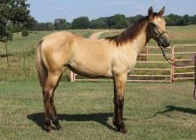 This filly, registered with the American Quarter Horse Association, is one of about 20 horses that will be included in the Mississippi State University horse auction in November. (Submitted Photo)