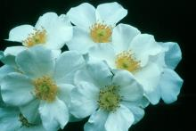 Starry Night's pristine white blossoms are reminiscent of the dogwood, and yet they will provide bouquets all season long.