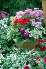 Bright red geraniums make a dazzling display in this container of mixed spring flowers.