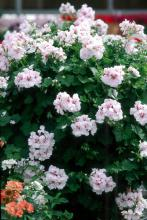 This exquisite Ivy geranium cascades downward gracefully with clusters of showy blossoms.