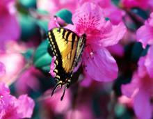 Many people find Pride of Mobile azaleas irresistible. They are not alone as butterflies, such as this swallowtail, are attracted to the Southern Indica group of azaleas including Pride of Mobile, Formosa, G.G. Gerbing, Judge Solomon and George Lindley Tabor.
