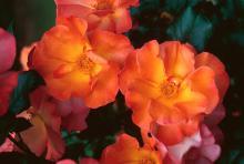 A favorite floribunda, Playboy, is mostly orange with a splash of yellow.