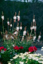 The tall, airy-looking flowers of the gaura give the appearance of butterflies floating above the other flowers in the garden or mixed container.