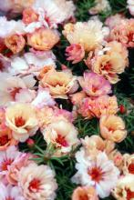 With antique shades of cream, yellow and rose, Margarita Cream grows well in a sunny garden with well-drained soil.