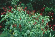 The burgundy wine-colored flowers of the Salvia van houttei are not only beautiful but prove to be a delicacy for ruby-throated hummingbirds.