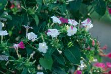 The colorful flowers of the four o'clock offer beauty and evening fragrance the whole family will enjoy from summer through fall.