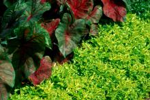 Joseph's Coats combine well in this tropical-looking garden. The companion plants are coleus, cannas and impatiens.