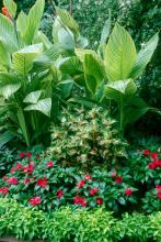 The bright green Joseph's Coat combines wonderfully with caladiums, giving a season-long show of color.