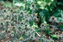 The unique, blue flowers of the Sea Holly are most welcome in Mississippi gardens. Sea Holly was one of the stalwart performers in the trial grounds at the Mississippi State University arboretum.