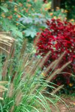 Moudry, a dwarf selection of fountain grass, has beautiful, almost black plumes or flowers and combines well with coleus. The leaves give a nice texture throughout the growing season and wow us with their blooms in late summer and fall.