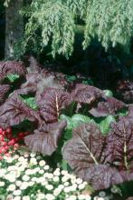 Red Giant mustard offers highly ornamental foliage for the landscape, but can yield tasty greens for the table as well.