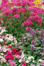 Bouquet Purple dianthus is at home in this spring garden with anise hyssop and periwinkles.