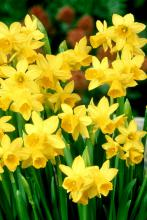 Daffodils prefer sunny locations, although open shade will not prove to be a big detriment.