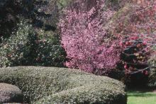 The Okame, a pink hybrid cherry crossed with Prunus incisa, offers additional landscape benefit from fall leaf color.