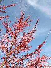 For some of the best winter color, plant possum haw hollies for literally thousands of berries. They are easy to grow and have very few pests.
