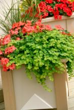 Lime green lysimachia, Tempo impatiens and ornamental grass provide all the elements needed for a striking planter.