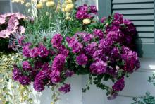 Marco Polo double petunias, variegated vinca, silver helichrysum and straw flowers make for an award-winning window-box planting. (large photo)