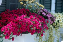 Sweet Dream violet petunias, straw flower and variegated vinca make great companion plantings for this showy window box.