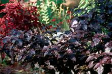 The dark purple foliage of the Purple Knight alternanthera will perform effortlessly for a long season giving incredible beauty to the landscape. Ordinarily reaching 16 to 20 inches in height, gardeners should space these plants 18 to 24 inches apart.