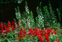 AngelMist angelonias stand tall over the Vista Red salvias as they represent the stripes of the Grand Ole Flag in a patriotic setting.
