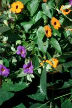 The Blue Glory offers the perfect complement for the Sunny Orange Wonder black-eyed Susan vine.