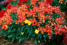 These red Montego  snapdragons demontrate how showy single-colored plantings can be when combined with yellow pansies.