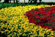 Orange bi-colored Montego snapdragons and yellow pansies  make for a striking cool-season planter.