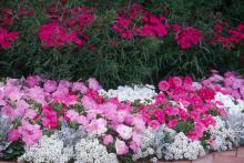 To create the prettiest display, set out in large drifts of three to four plants per square foot. The hot pink-purple color allows combinations with a number of plants, especially pansies like Purple Rain.