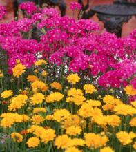 Bouquet Purple is a tall cut-flower type dianthus that is cold tolerant yet able to endure a Mississippi summer. The flowers are a bright, bold, cheerful hot pink-purple color.