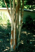 Natchez crape myrtle, known for its white blossoms during the summer, has beautiful bark that adds a special look to winter landscapes. The deep cinnamon-brown bark develops around the fifth year.