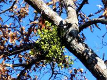 Mistletoe is parasitic on the stems of woody plants, from which they derive water, minerals, nutrients and small amounts of organic compounds carried in the sap. In other words, they suck the life right out of that beloved oak.