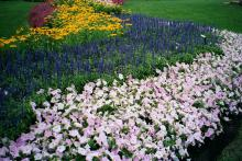 Rhea is a blue-violet colored Salvia farinacea that is the perfect divider for Misty Lilac Wave petunias and Prairie Sun rudbeckias.