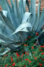 The blue agave, usually listed as a Deep South plant, is being seen from the Coast to the Delta and back eastward across the state and performs quite well in Mississippi.