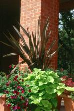 The fans formed by the New Zealand flax are reminiscent of a yucca or perhaps some kind of dracaena. These can get quite large, reaching 4 to 5 feet in height.