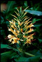 The choice ginger selection may be the Kahili. This ginger produces enormous canes topped by clusters of large, yellow flowers with red stamens.