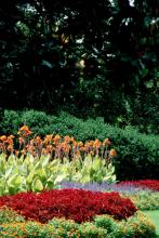 The Bengal Tiger is well-suited for the back of the perennial border. Combine them with sun coleus, Joseph's coats, and blue flowers like salvias or climbing thunbergias.