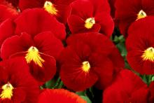 The Panola Scarlet is so beautiful, it will take the breath of passers-by.