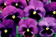 The new super-sized XXL pansy is perfect for gardeners who think bigger is better.