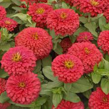 The Magellan zinnia produces enormous flowers that reach a whopping 6 inches in width. These bright, colorful flowers are produced on short, stocky plants that reach 18 inches tall.