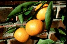 Satsumas like these perform well in containers and are known for their cold tolerance and great taste.